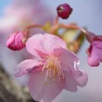 河津桜が、、満開に、、。