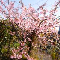先週の河津桜 ララとあんちゃんラプンツェル