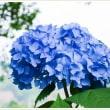 グリーンピア八女の紫陽花