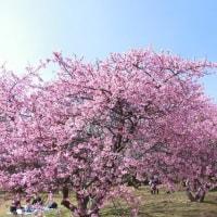 2月26日 佐倉城址公園 河津桜は満開です。
