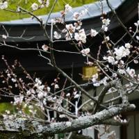 梅 咲きました
