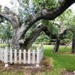日本最古のリンゴの木