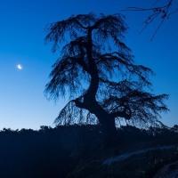 星、月、がかかる1本桜