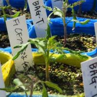 ミニトマトの苗が多量に出来た