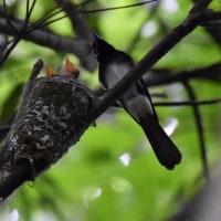 6/26営巣期を終えたオスは尾羽を落として渡海するは根拠のないウソ!
