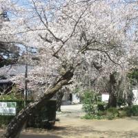 綺麗な桜から禅とバイク