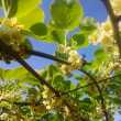 キウイ花盛り