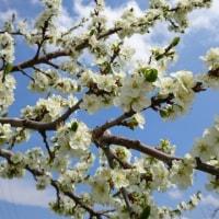 プルーンと今日の桜