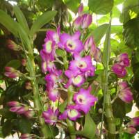 咲き出したデンドロビユウム