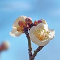 梅花を楽しむ(Ⅸ)