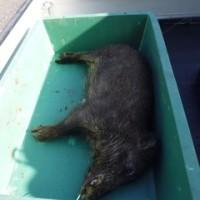 5月23日有害鳥獣捕獲「猪」