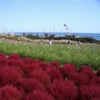 ひたち海浜公園 真っ赤に染まった・・・モコモコとしたコキア