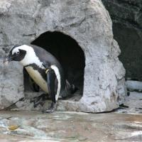 ペンギン巣材ドロ