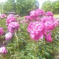 久宝寺緑地のシャクヤク園