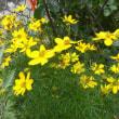 春まき大根に花が咲いた