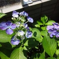 家の紫陽花  2017シーズン