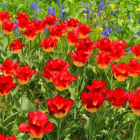 チューリップの花言葉