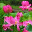 白木町 蓮の花