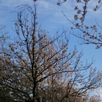 桜の。その7