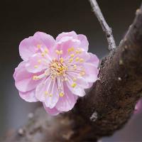 24日の散歩 ( 仁和寺往復での春だより )
