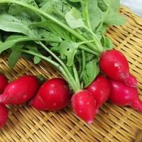 『家庭菜園の野菜収穫』。。。