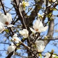 コブシの花が咲いている