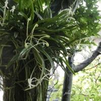 楓の木に着生するフウラン