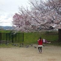 石手川公園でお花見