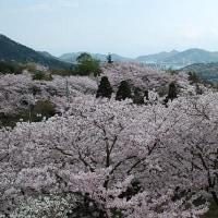 4月23日(日曜日)「開山公園の桜「(あかねこさん)