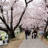 桜だより 背割堤