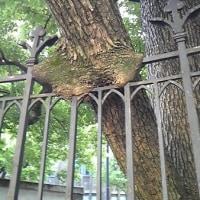 柵を食べる樹!?