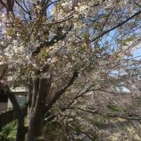 桜は終わりかな〜久々のパパゲーノでランチ♪