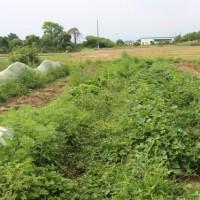 サツマイモの植え付け好機