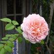 ≪真夏のバラ≫コルデス・パーフェクタ  グレーテル ラ・フランンス ウィリアム・モリス ウィンチェスター・キャセードラル リモンチェッロ