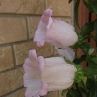 釣鐘草の花がボチボチ・・・・