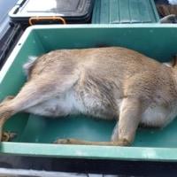 2月23日有害鳥獣捕獲「鹿」
