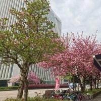 1907.  八重桜