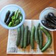 枝豆の試食