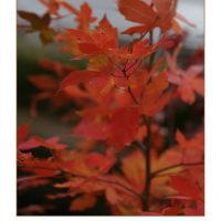 琵琶湖 なぎさ通りの紅葉