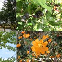 銀杏の実と車輪梅の実と