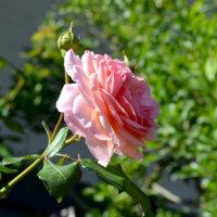 でっかい花芽3