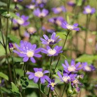 タチアオイも咲き始めました (2017/06/05)