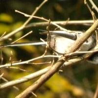 枝をつつくエナガ