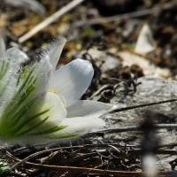産毛いっぱいのオキナ草