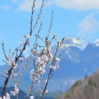 山里でも桜が咲き始めた