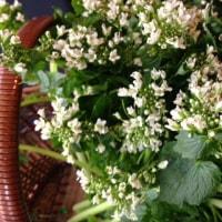 安曇野の宿から・わさびの花