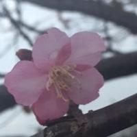 春!!そこまで。・。・。(*'▽')