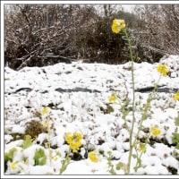 菜の花にも雪