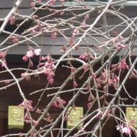 枝垂桜開花しました。