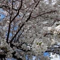 桜(ソメイヨシノ)満開!!